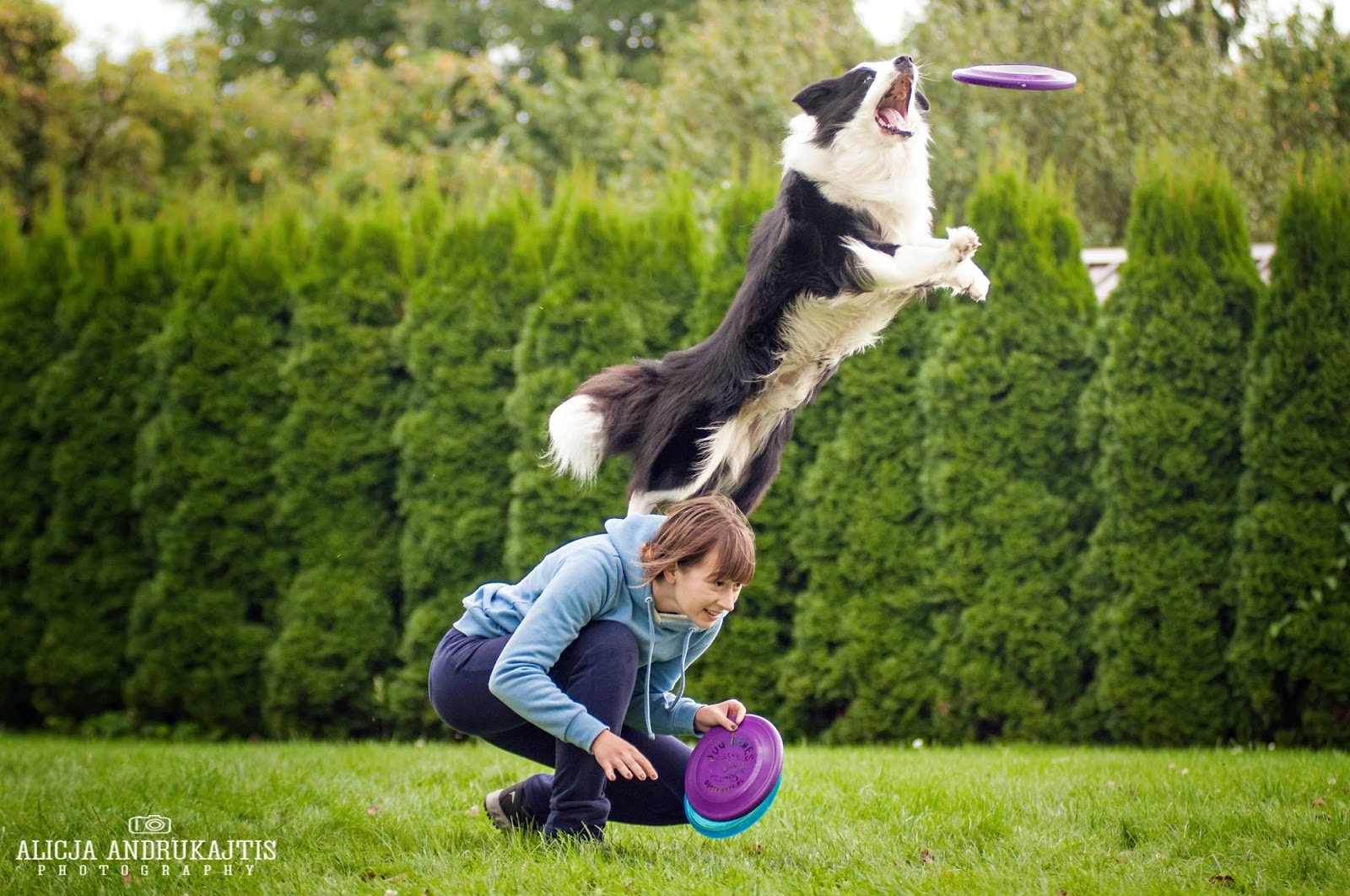 plato border collie dogfrisbee