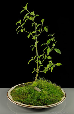 http://fotobabij.blogspot.com/2015/04/deren-swidwa-cornus-sanguinea-na-bonsai.html