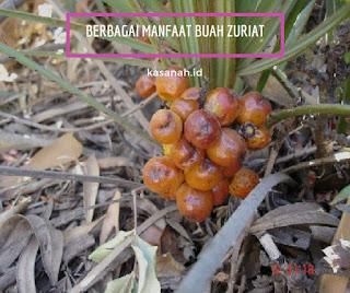 buah zuriat yang belum matang