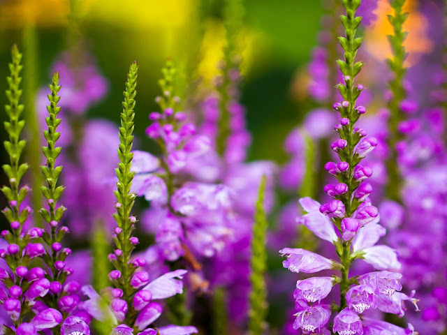 Violet Flowers HD Wallpapers Pictures Free Download