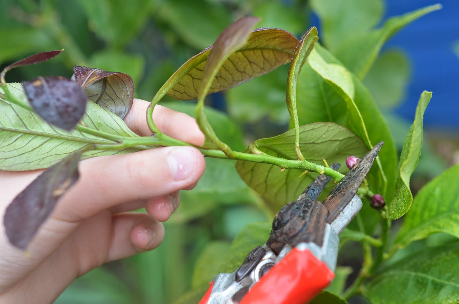 How To Grow A Lemon Tree From Cuttings