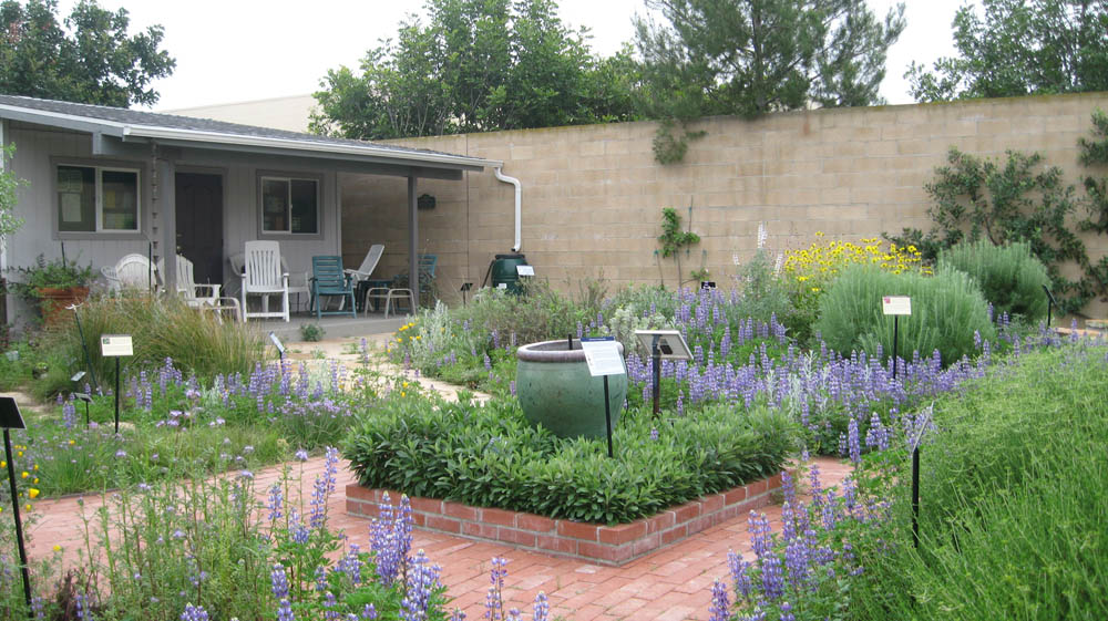 Backyard Nature Company : Arroyo (Succulent) lupine ( Lupinus succulentus ) has naturalized