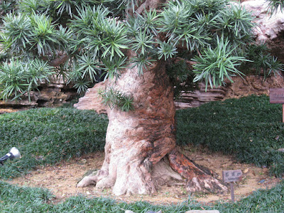 PODOCARPUS MACROPHYLLUS ( BUDDHIST  PINE) photo