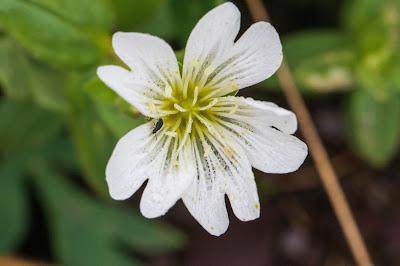 [Caryophyllaceae] Cerastium arvense – Filed Chickweed (Peverina dei campi)