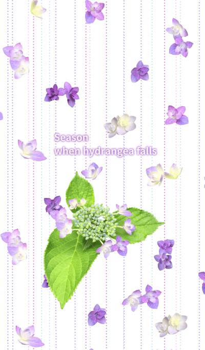 Season when hydrangea falls