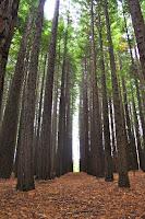 Redwood Forest East Warburton