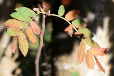 pihlajan lehdet