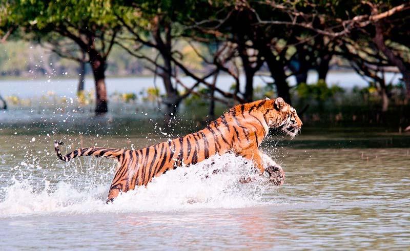Asia, Bengal tiger, Mangrove