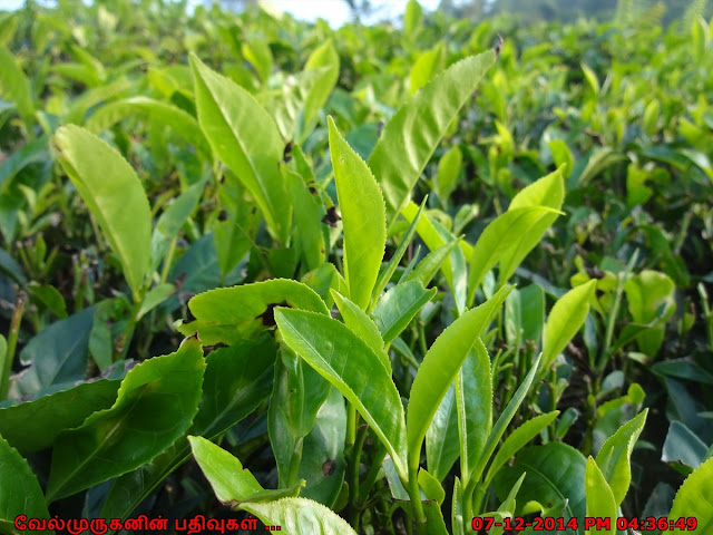 Tea Leaves in Wayaanad Region