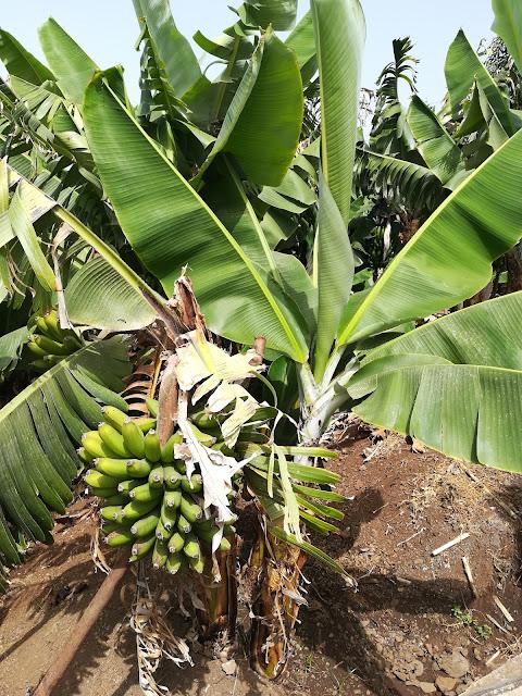 plantacje bananów Madera
