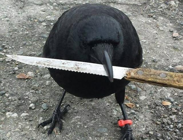 Un cuervo malandrín hizo huir al servicio postal en Canadá