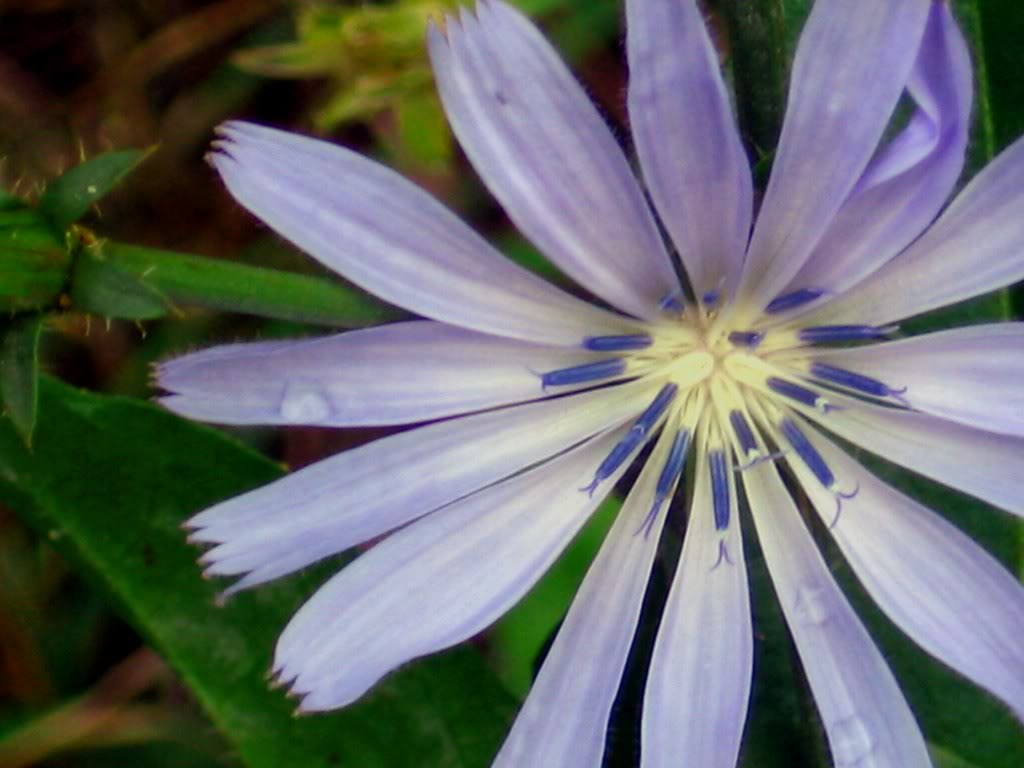 chicory flower wallpaper