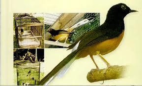 Habitat Burung Murai Batu