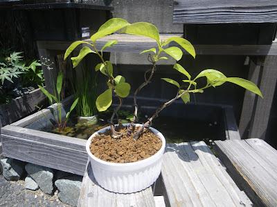 柿 ミニ盆栽
