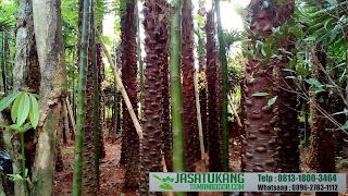 Jual Pohon Palem Australis,Pohon Palem Livistona Australis,Pohon Palem Langka