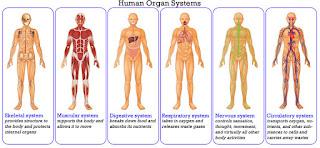 9 Sistem Organ Pada Manusia dan Fungsinya
