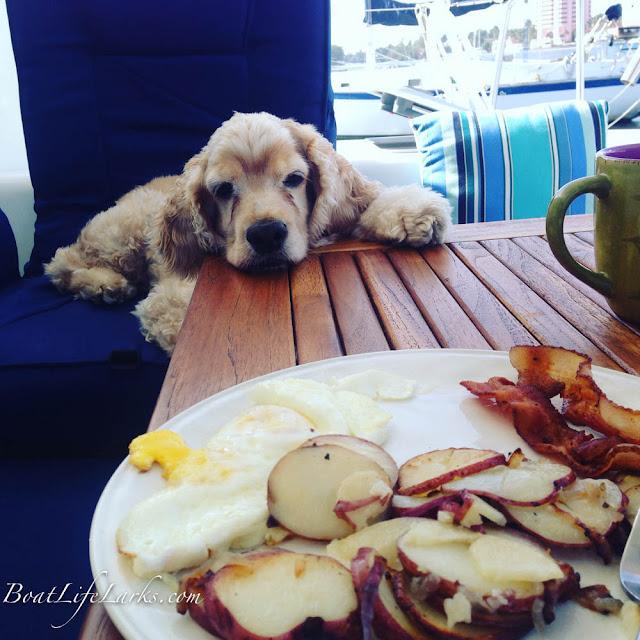 Boat dog looks lovingly at brunch