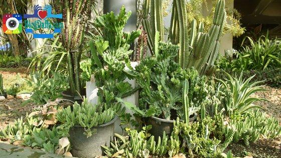 Tanaman Hias Outdoor Kaktus
