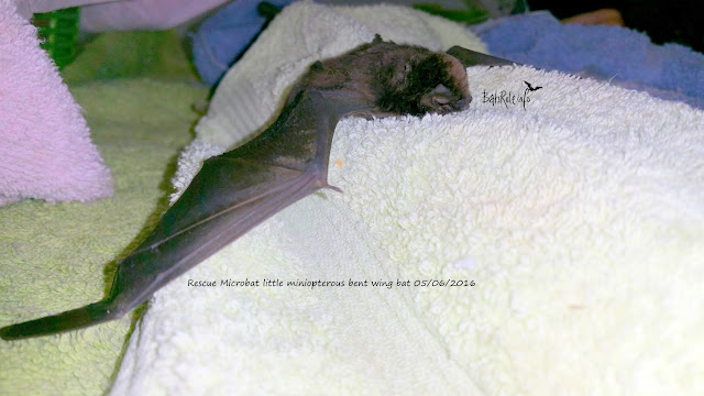 Rescue Microbat little miniopterous bent wing