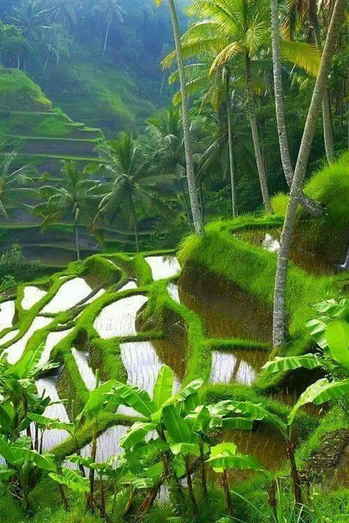 Foto Pemandangan Sawah Indah di Desa Pohon Kelapa Melambai