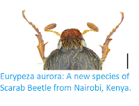 https://sciencythoughts.blogspot.com/2017/10/eurypeza-aurora-new-species-of-scarab.html
