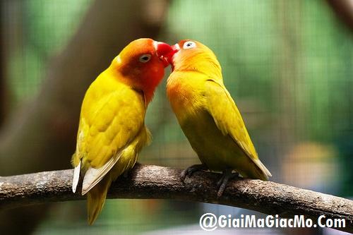 Giải mã giấc mơ thấy chim Yến phụng & ngủ nằm mơ thấy Yến phụng