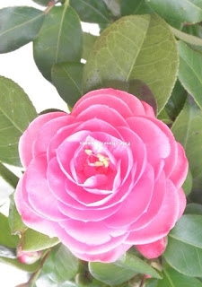 planta- camélia