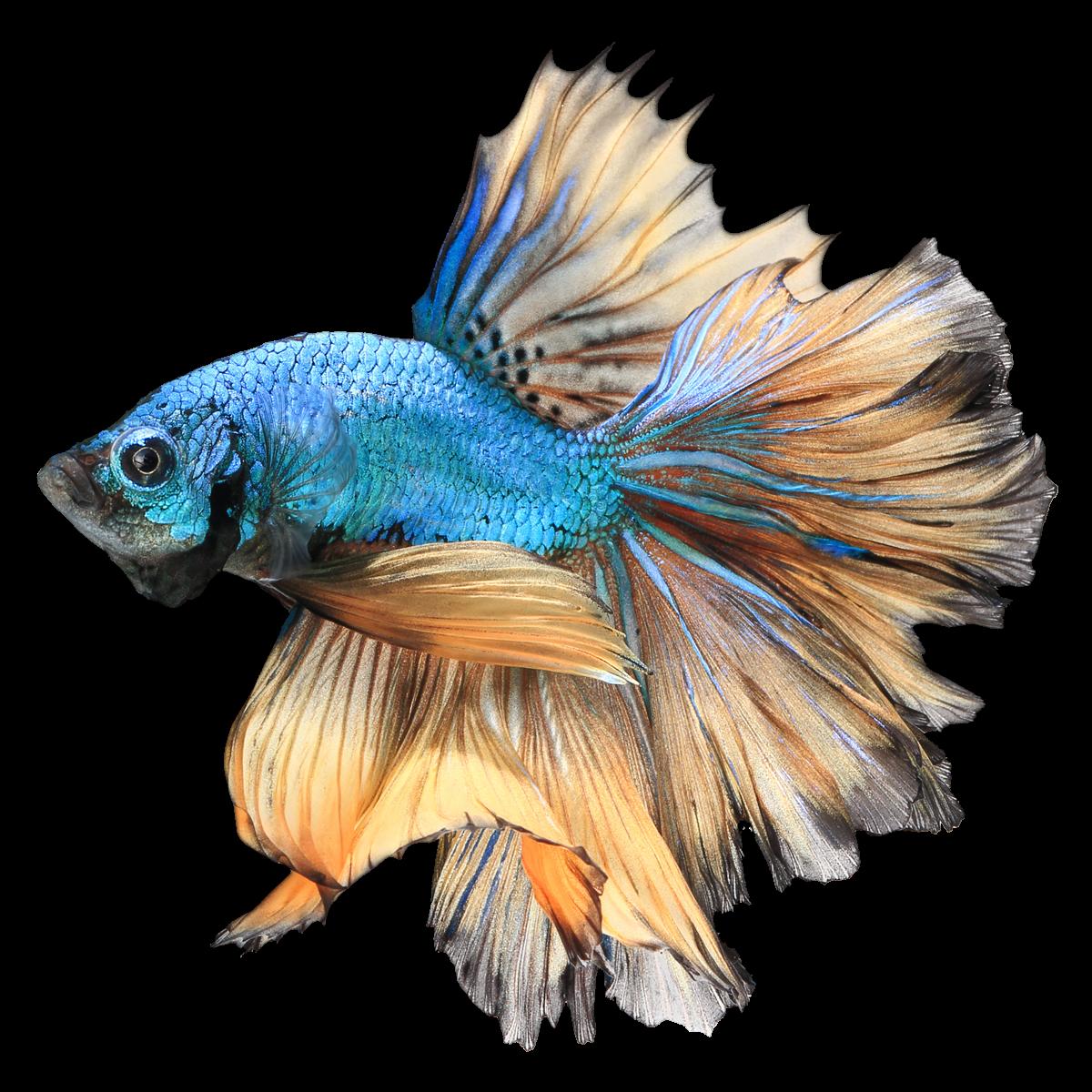 Ternyata Ini Awal Mula Ikan Cupang Pecinta Ikan Cupang