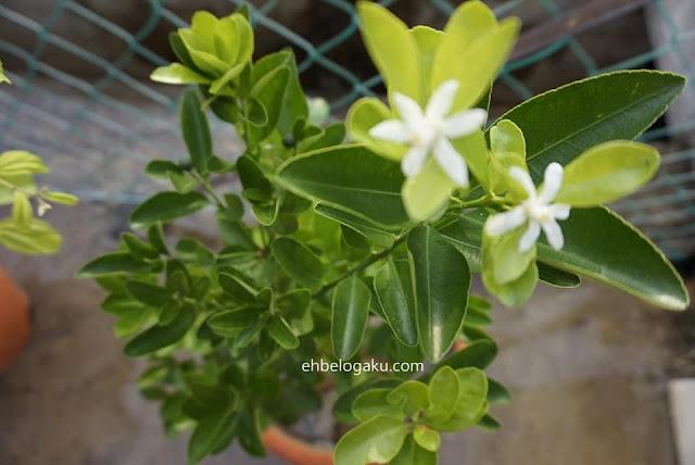 limau kasturi,daun limau kasturi,pokok berduri tajam,tanaman