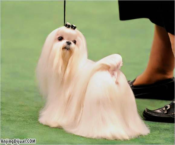 Gestation Period For Maltese Dogs - christening outfits ...