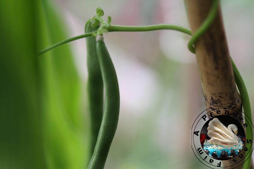 Tout savoir sur les haricots (pas à pas en photos)