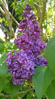 Sentir les merveilleux parfums floraux du printemps
