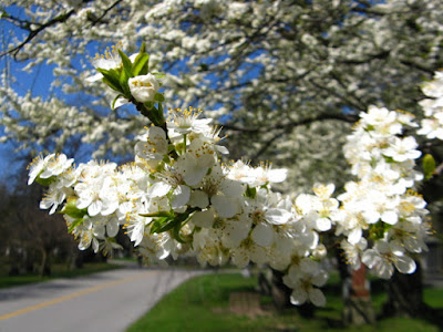 American Plum Prunus americana blooms at Mount Pleasant Cemetery by garden muses--not another Toronto gardening blog