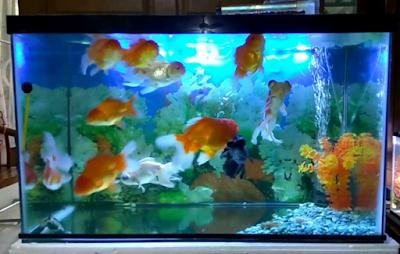 Cara merawat akuarium