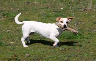 Thelma happily trotting along with her stick