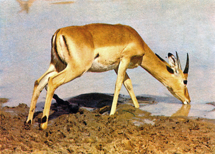 Antelope Animal Facts And Pictures All Wildlife Photographs