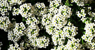 Alyssum Çiçeği Nasıl Yetiştirilir?