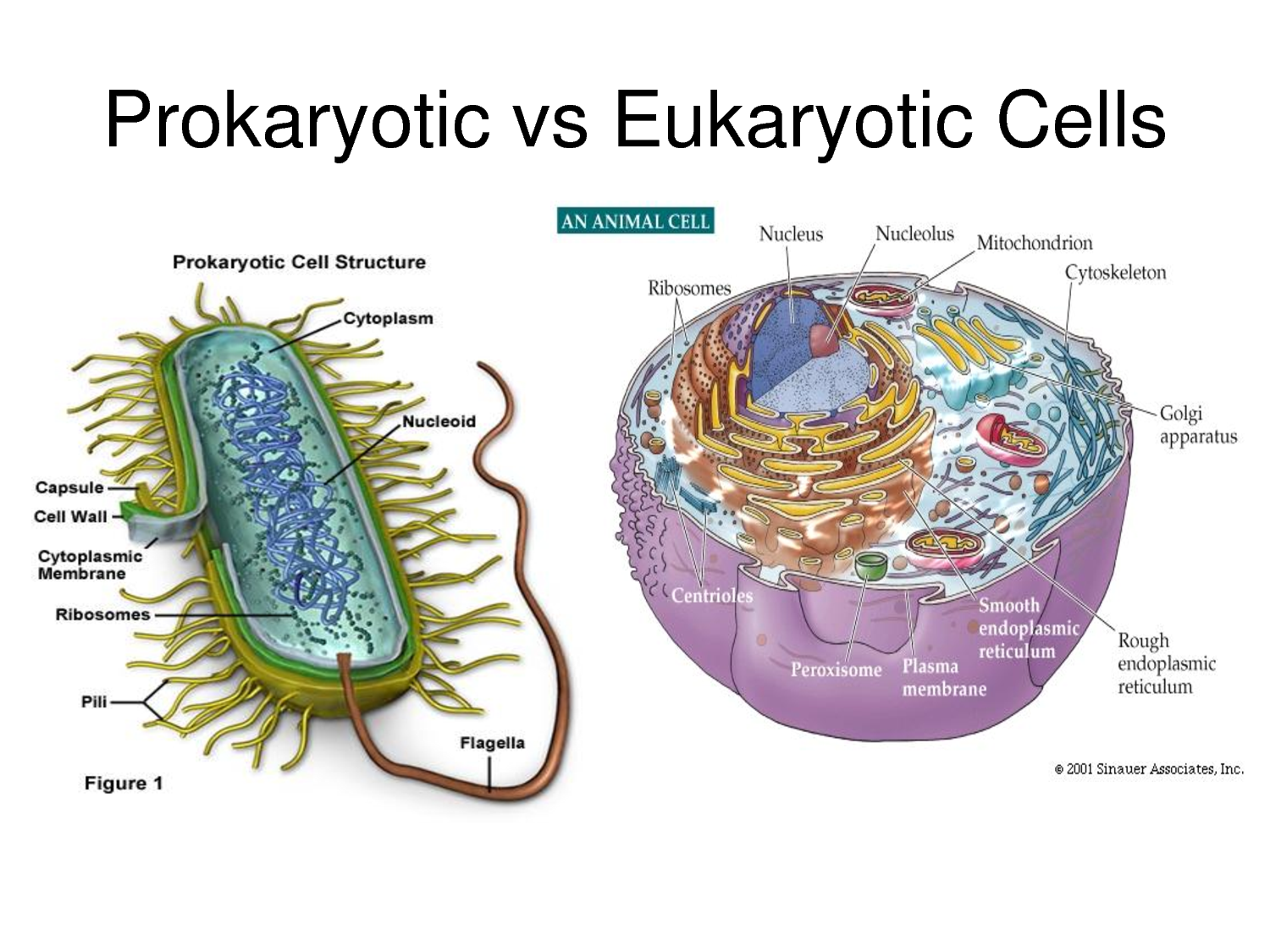 small resolution of  cell activities depends on the activities of subcellular structures within the cell which are the organelles nucleus and plasma membrane