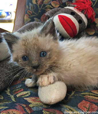 Patrick the foster kitten cuddles with a sock monkey