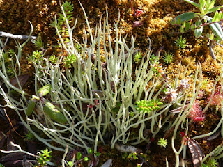 Cladonie non identifiée - Cladonia sp.