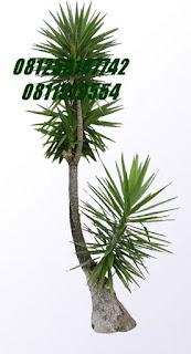 Yucca I - tombak seribu | Jasa Tukang Taman Surabaya