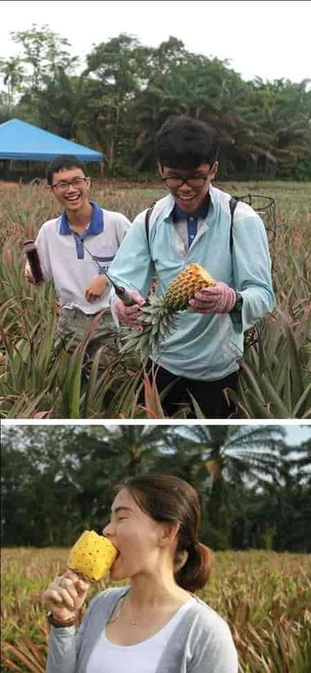 Nictar Bee pineapple farm. eating fresh pineapples