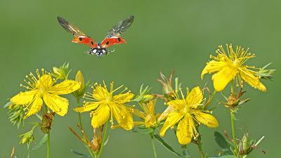 mariposa-revoloteando-sobre-unas-flores-amarillas