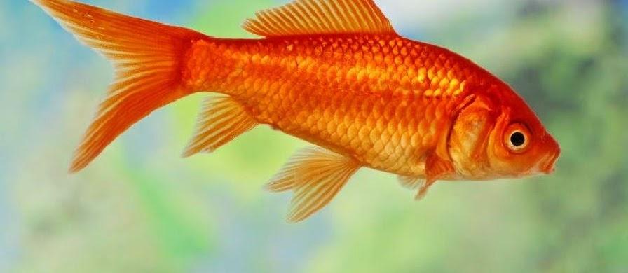 Klasifikasi Dan Morfologi Ikan Mas Secara Detail dan Terlengkap