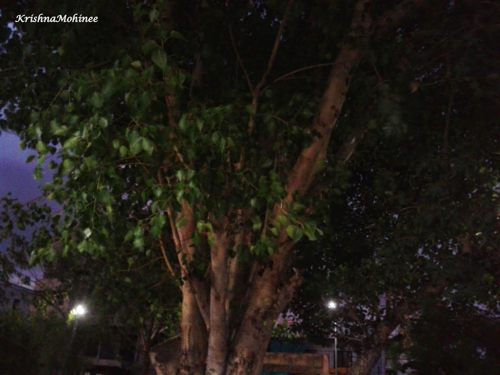 Image: Pipal tree in dark evening
