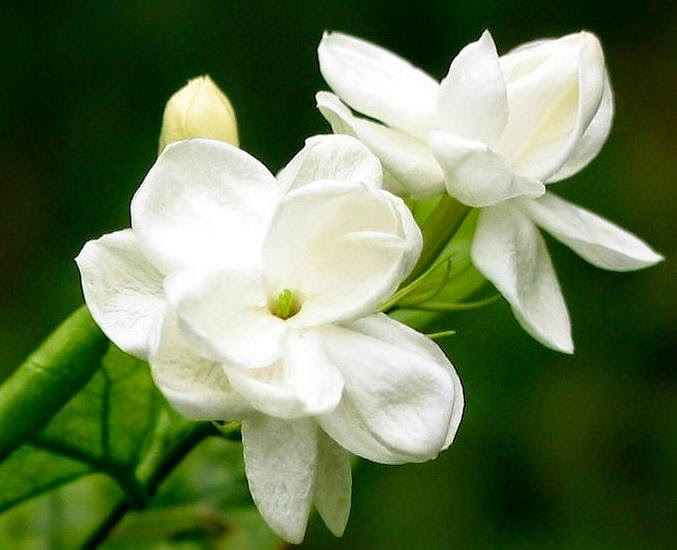 Macam Macam Bunga Nasional Indonesia - Bunga Melati Putih