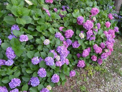 長尾の寺・正俊寺の紫陽花庭園