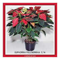 Poinsettia-Euphorbia-Pulcherrima-C14-Colores-04-2018