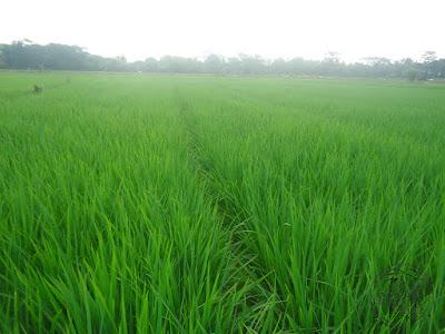 Tanaman padi di blok bakan bandung, dusun Gardu, Ds. Bendungan, Pagaden Barat, Subang, Jawa Barat.