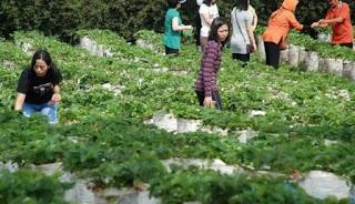 Kebun strаwberry Ciwidey Bаndung